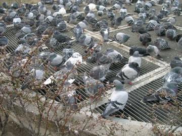 medium_pigeons19_0009.2.jpg